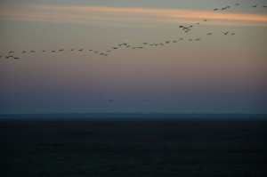 Cranes over the Askania-Nova steppe. Photo by: Dimiter Kenarov