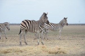 Zebras at Askania-Nova. Photo by: Dimiter Kenarov